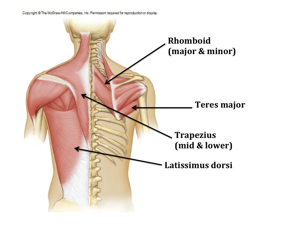 Muscles - The Shoulder Complex