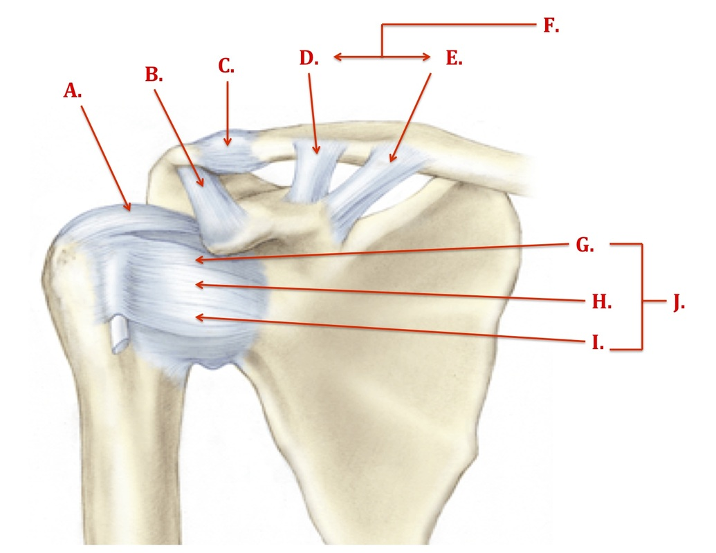 Ligaments - The Shoulder Complex