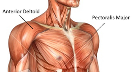 Image result for pectorals and deltoids